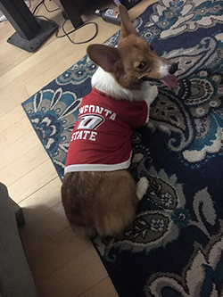 Pictured: Laura Frink '12's Corgi wearing O-State gear